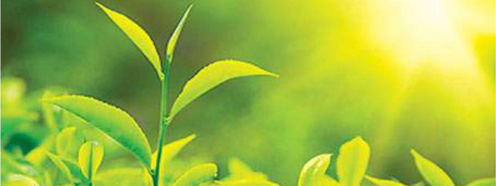 இலங்கை தேயிலை புத்துயிர் திட்டத்திற்கு அமைச்சரவை அனுமதி