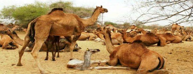 10,000-இற்கும் மேற்பட்ட ஒட்டகங்களை சுட்டுக்கொல்லவுள்ள அவுஸ்திரேலியா