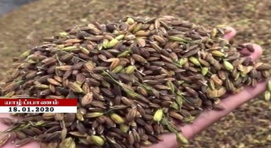 மழையால் யாழில் பெரும்போக நெற்செய்கையாளர்கள் பாதிப்பு