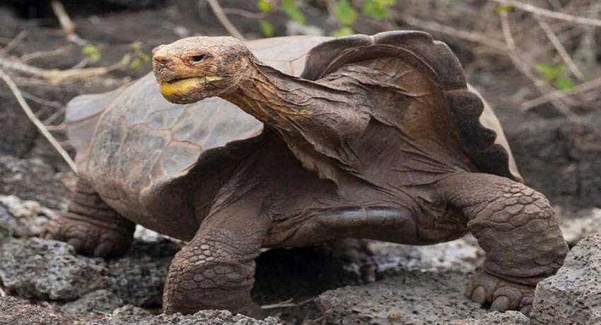 800 ஆமைகளுக்கு தந்தையாகி இனத்தை அழிவிலிருந்து காப்பாற்றிய டியாகோ
