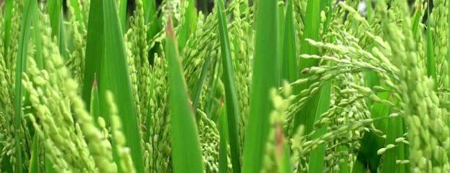 உறுகாமம் பெரிய நீர்ப்பாசனத் திட்டத்தின் கீழ் மட்டக்களப்பில் 11,889 ஏக்கரில் நெற்செய்கை