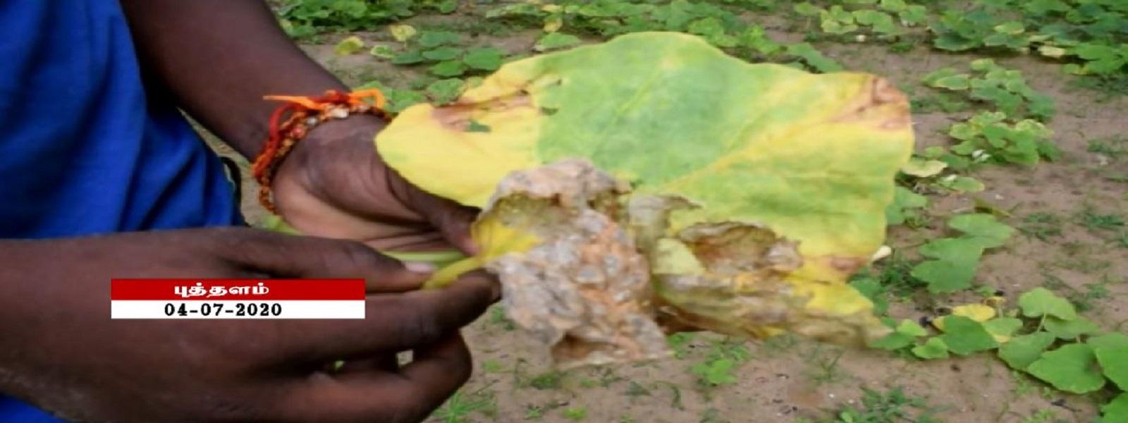 முந்தல் பகுதியில் மேற்கொள்ளப்பட்ட பூசணிச் செய்கையில் வைரஸ் தாக்கம்
