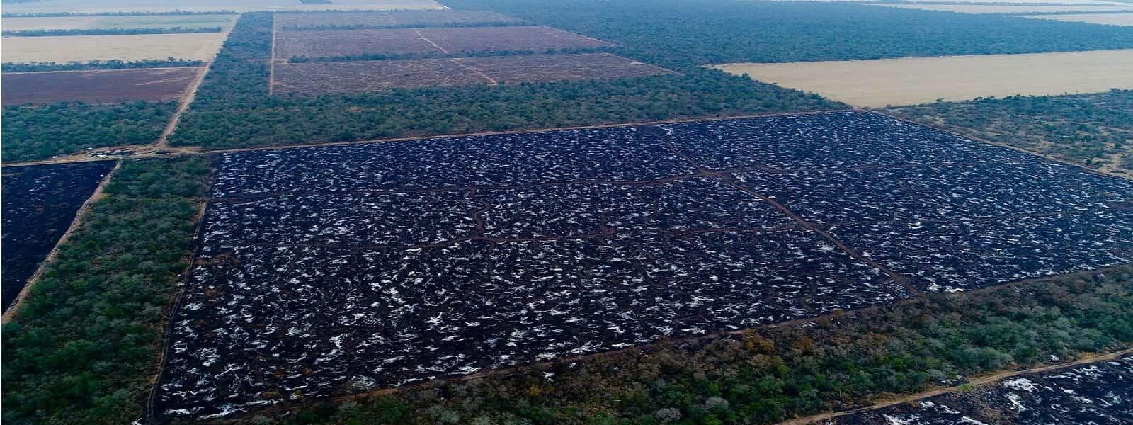பிரேசிலில் சட்டவிரோத காடழிப்புகளுக்கு காரணமாகியுள்ள சோயா, மாட்டிறைச்சி ஏற்றுமதி