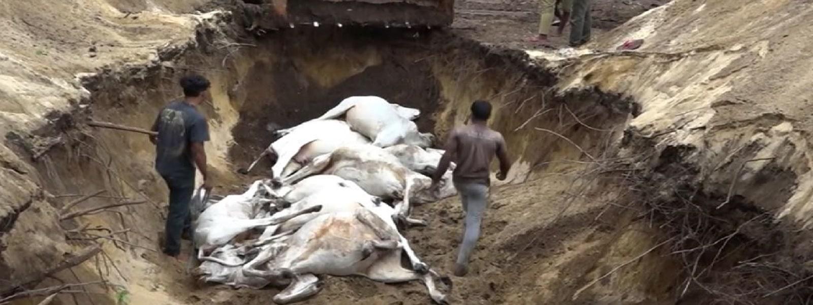 வாகரையில் மின்னல் தாக்கி 27 பசுக்கள் உயிரிழப்பு - Newsfirst