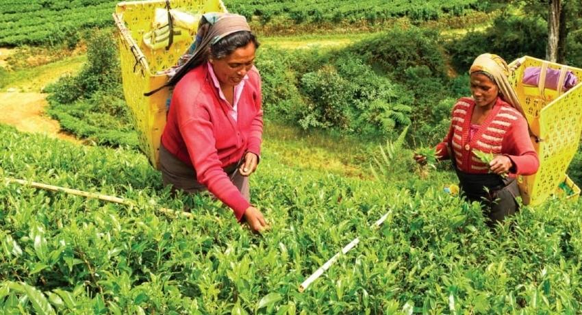 இம்மாதம் பெருந்தோட்டத் தொழிலாளர்களுக்கு 1000 ரூபா சம்பளம் கிடைக்கும்: பெருந்தோட்ட நிறுவனங்கள் சம்மேளனம்
