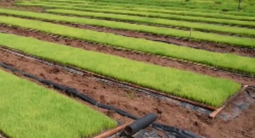 நஞ்சற்ற நாற்று மேடை நெற்செய்கை: கிளிநொச்சியில் சாத்தியமானது